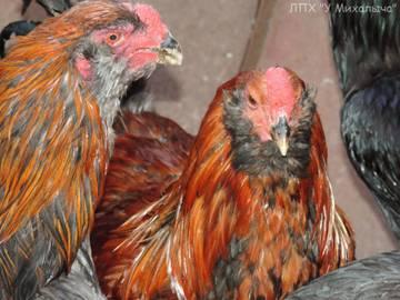 Гилянская порода кур, Gilan breed chickens EHhvo