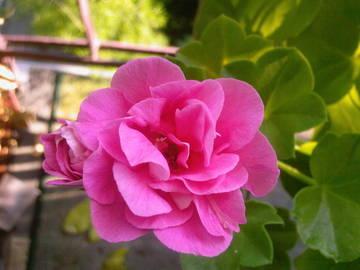 Пеларгония плющелистная PAC Pink Sybil
