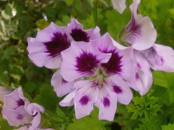 Пеларгония королевская Graziosa Royal Lavender